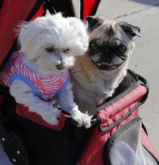 Fast friends (Puuhale) Tags: pets petdogs maltese pugs pugdogs