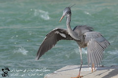 Western Reef Heron @ Ras Al Khor Wildlife Sanctuary, Dubai, UAE (Ma3eN) Tags: western reef heron rasalkhor wildlife sanctuary dubai uae bird 2017