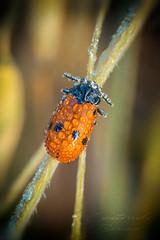 Clytre des saules (pixtoleros) Tags: ifttt 500px insect wildlife closeup natural nature photograph bug macro montpellier languedocroussillon clytre red
