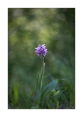 Orchidée-1037125A1037 (helenea-78) Tags: fleur fleurs fleurssauvages macro orchidéesauvage orchidées photonature nature