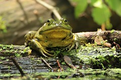 frog (don.white55 That's wild...) Tags: americanbullfroglithobatescatesbeianus thatswildnaturephotography donwhite canoneos70d tamronsp150600mmf563divcusda011 canoneos70dtamronsp150600mmf563divcusda011 tameron150600mm 150600mmlens animal amphibian frog log duckweed bigeyes frogeyes
