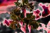 Iris (seguicollar) Tags: imagencreativa photomanipulación art arte artecreativo artedigital virginiaseguí flower flores planta lírios iris rojo negro rojhizo