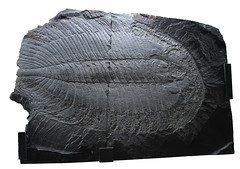 Trilobite xigante (PAISA2008) Tags: fosseis trilobites arouca fósiles