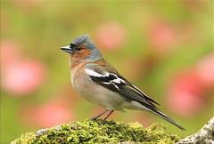Txonta (Pinzón) (josuneetxebarriaesparta) Tags: txonta pinzón pinsà pimpin txoria hegaztia ave pájaro bird animalia animal chaffinch