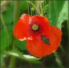 The stranger (Armelle85) Tags: extérieur nature fleur flore coquelicot insecte macro