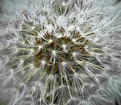 Dandelion Detail (nerd.bird) Tags: dandelion macro detail seeds macromondays allnatural