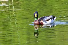 Une tite friandise peut-être? (Diegojack) Tags: lausanne vaud suisse d7200 oiseaux canard colverts reflets sauvabelin