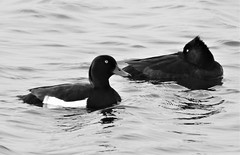 Pair of Tufted Duck In Black and White (Gilli8888) Tags: nikon p900 coolpix northumberland cresswell cresswellponds water wetlands countryside blackandwhite birds waterbirds ducks pair tuftedduck