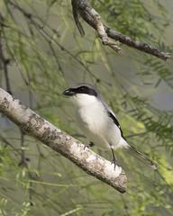 Loggerhead Shrike - Lanius ludovicianus (Dave Boltz) Tags: birds texas canon7dmarkii wildlife nature outdoors loggerheadshrike laniusludovicianus shrike loggerhead