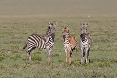 A Dazzle of zebra (Ring a Ding Ding) Tags: africa ascilia equusquaggaburchellii namiriplains serengeti tanzania baby dazzle family foal migration nature safari trio wildlife zebra shinyangaregion coth ngc