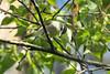 Warbling Vireo - 094A7843a1c (Sue Coastal Observer) Tags: warblingvireowavi vireogilvus delta bc britishcolumbia canada reifelbirdsanctuary