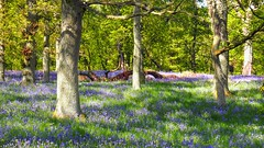 Happy Day's in the Bluebell Woods at Kinclaven. (Flyingpast) Tags: woodlandtrust woods forest trees nature bluebells wild flowers scotland scottish outdoors pretty beautiful bbcspringwatch sunny blue trail path sunlight