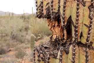 Poor Saguaro