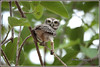 7821 - spotted owlet (chandrasekaran a 47 lakhs views Thanks to all) Tags: spottedowlet birds nature india chennai canoneos6dmarkii tamronsp150600mmg2
