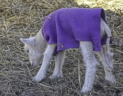 Spring Lamb-HTT! (☼☼Jo Zimny Photos☼☼) Tags: sheep baby lamb ramlamb cute white coat purple straw curious
