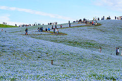 ネモフィラの丘 画像14
