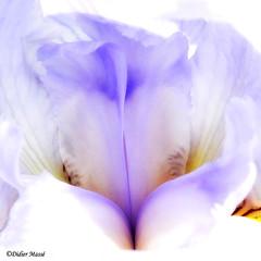 Textures d'iris (didier95) Tags: iris fleur macro bleu intimiteflorale abstrait