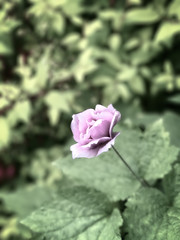 Delicate (Anemone) (campmusa) Tags: anemone flora floweringplants disabigualtion ranunculaceae petals perennialplants flowers anemoneoregana westernwoodanemone