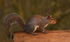 6 Squirrel (blue62photography) Tags: grey squirrel uk england