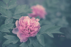 Peony (pierfrancescacasadio) Tags: 25042018840a6528 peonia peony fiore flower pink 50mm moody garden aprile2017 hss