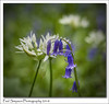 Bluebells and Garlic (Paul Simpson Photography) Tags: wildgarlic bluebells flowers nature naturalworld sonya77 paulsimpsonphotography imagesof imageof photoof photosof petals naturephotography april2018 spring wihiteflowers blueflowers flowering springtime springflowers england