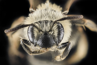 Andrena nida, F, Face, MD, Prince George's County_2013-05-21-17.15