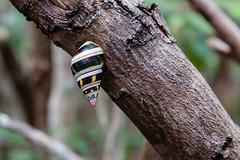 Liguus Tree Snail (Photomatt28) Tags: animals evergladesnationalpark florida liguustreesnails natureparks snail