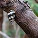 Liguus Tree Snail