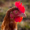 The real thing ........ (DP the snapper) Tags: chickens portrait comb aldenhampark birds cockerel amusing