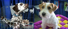 Puppies NOT for sale or rescue. (Bennilover) Tags: dalmatian dogs parsonrussellterrier puppies pup terriers energy playing orangecountypetexpo dalmatians spotted paws puppy