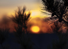 Blurred Sunset (Faron Dillon) Tags: sunset yellow glow sun canon 70200l 5ds colors saturated bokeh evening tree needles pine cones cone