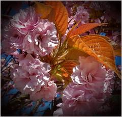 Shades Of Pink (kurtwolf303) Tags: nature natur blossoms blüten pink rosa blätter leaves nikon nikoncoolpixs9900 kurtwolf303 compactcamera vignette