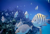 F5727E7 - Fish Everywhere on Roatan Reef (Bob f1.4) Tags: fish everywhere sargent major bermuda chub underwater swim swimming snorkel trip reef roatan west bay beach infinity resort caribbean sea blue yellow