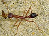 Look there, a hardworking ant. (Uhlenhorst) Tags: 2006 australia australien tiere animals travel reisen themacrogroup