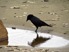 Raven gets a drink (thomasgorman1) Tags: blackbird crow raven birds canon beach water shore or oregon rockaway coast nature wildlife