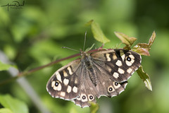 Speckled Wood Butterfly (AndyNeal) Tags: animal nature wildlife essex ewt trust fingringhoe wick spring insect butterfly speckledwood essexwildlifetrust