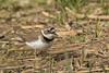 Chorlitejo chico (Charadrius dubius) (jsnchezyage) Tags: chorlitejochico charadriusdubius ave pájaro bird birding birdwatching ornithology beak feather plover littleringedplover coth5