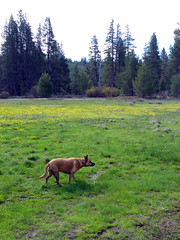 Meadow dog (simonov) Tags: hiking sagehen creek trail mountains forest tahoe national truckee bella dog hund chien 狗 σκύλοσ madra cane 犬 perro 개 سگ собака الكلب germansheprador meadow wildflowers