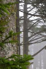 Up Close with Mt. Mitchell Trees (esywlkr) Tags: trees fog weathering wnc nature northcarolina mtmitchell mtmitchellstatepark