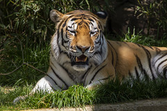 National Zoo 3 May 2018  (963) Tiger (smata2) Tags: tiger tigre flickrbigcats bigcats smithsoniannationalzoo zoo zoosofnorthamerica itsazoooutthere animals zoocritters