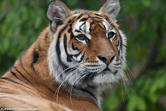 Bengal Tiger - Zoo Amneville (Mandenno photography) Tags: bigcat big cat bengal bengaalse tiger tijger tigers tijgers zoo zooamneville amneville france frankrijk dierenpark dierentuin dieren animal animals