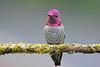 neon buddha buddy (sugarbear1956) Tags: hummingbird annas male