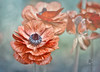 """We are greater than the sum of our parts."" (Zara Calista) Tags: flowers soft red persian buttercup blue bokeh california tecolote giant ranunculus ii"