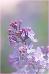 Immer wieder Flieder // Lilac again and again (Zoom58.9) Tags: pflanzen plants flieder lilac rosa pink natur nature makro macro