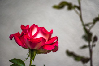 red tone rose