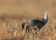 Sharptail Grouse Male Dancing_77 (Scott_Knight) Tags: sharptailgrouse wisconsin canon dance sharptail grouse