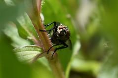 Shy Fly (Robin Shepperson) Tags: fly macro bokeh nikon d3400 garden berlin germany green black eyes red closeup bug wildlife nature