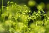 Springtime ferns (elfsprite) Tags: fern spring kevät saniainen vastavalo backlight nikond500 nikkor20050056 helsinki lammassaari viikki vanhankaupunginlahti