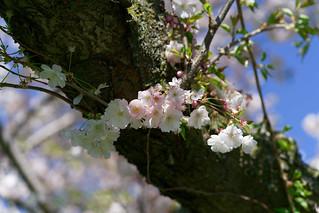 Sakura Gage Park