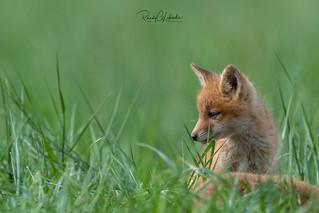 Red Fox - Vulpes vulpes | 2018 - 11